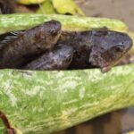 Build Underwater Fish Trap With Green Pumpkin in River । OMG! Finding Lots of Fish In Water Hyacinth