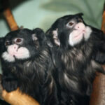 The Differences You Should Know about Marmoset vs. Tamarin +13144859574