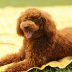 Why Poodles are the First Choice of Many Pet Lovers?
