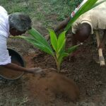 How to grow and fertilizer Coconut tree